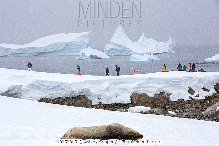 Weddell seal (Leptonychotes weddellii) hauled out on snow. Tourists from an expedition cruise ship walking in background, overlooking icebergs in Southern Ocean. Portal Point, Reclus Peninsula, Antarctica. December 2019.
