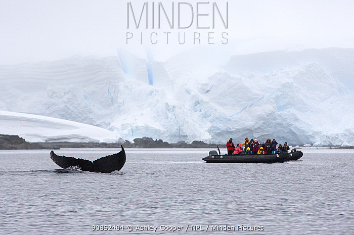 Humpback whale (Megaptera novaeangliae) diving with fluke at surface, tourists from cruise ship watching from zodiac, glacier in background. Foyn Harbour, Wilhelmina Bay, Antarctic Peninsula, Antarctica. December 2019.