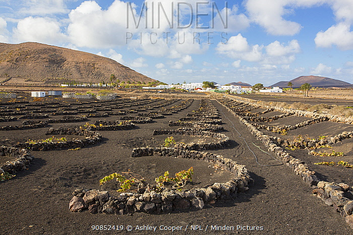 Traditional sheltered vineyard with rock walls to protect vines from strong winds, growing on black volcanic soil. Town and mountains in background. Lanzarote, Canary Islands, Spain. November 2019.