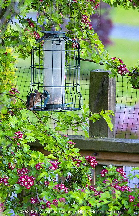 Wood mouse (Apodemus sylvaticus) on garden bird feeder, Hawthorn (Crataegus sp) blossoming in background. Ambleside, Cumbria, England, UK. May 2020.