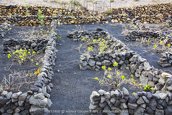 Traditional sheltered vineyard with rock walls to protect vines from strong winds, growing on volcanic soil. Lanzarote, Canary Islands, Spain. November 2019.