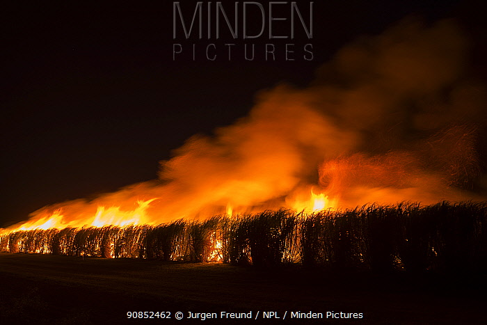 Fire in sugar cane (Saccharum officinarum) crop at night, burning makes crop easier to harvest. Mareeba, Far North Queensland, Australia. 2016.