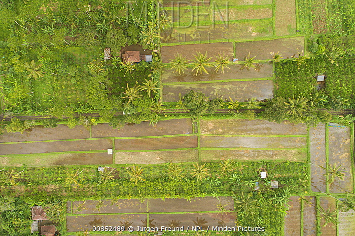 Rice fields and Palm trees, aerial view. Near Ubud, Bali, Indonesia. 2018.