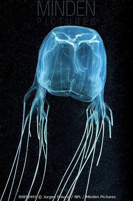 Box jellyfish (Chironex fleckeri). Far North Queensland, Australia.