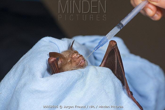 Diadem leaf-nosed bat (Hipposideros diadema) with wing injury feeding from syringe, held by carer. Tolga Bat Hospital, Atherton Tablelands, Far North Queensland, Australia. 2014. Captive.