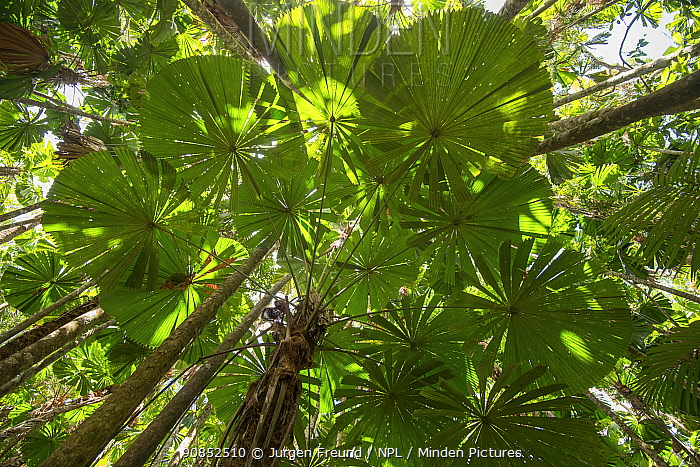 Licuala fan palm (Licuala ramsayi) leaves in forest, view from below. Queensland, Australia.