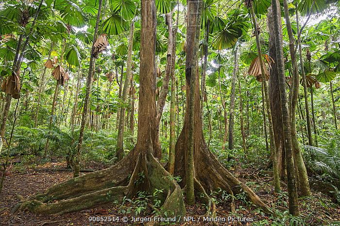 Licuala fan palm (Licuala ramsayi) forest. Queensland, Australia.