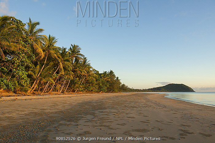 Beach fringed with Coconut palm (Cocos nucifera) trees at sunrise. Cape Tribulation, Northern Queensland, Australia. 2015.
