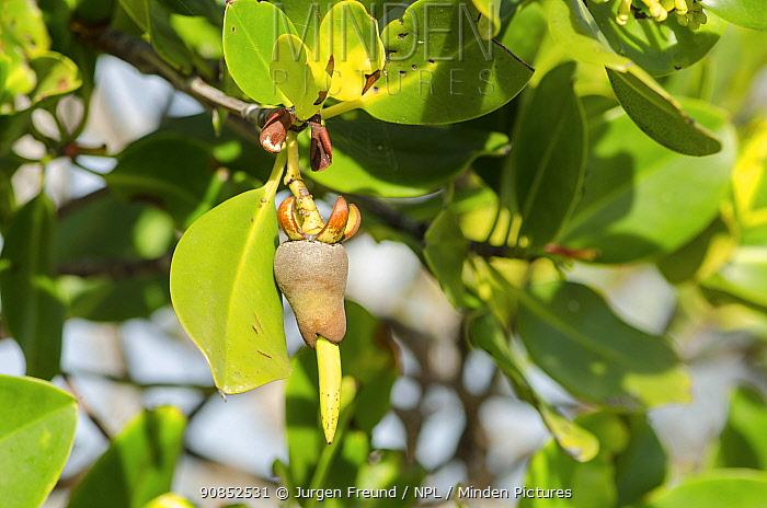 Mangrove tree propagule. Daintree National Park, Wet Tropics of Queensland, Australia.