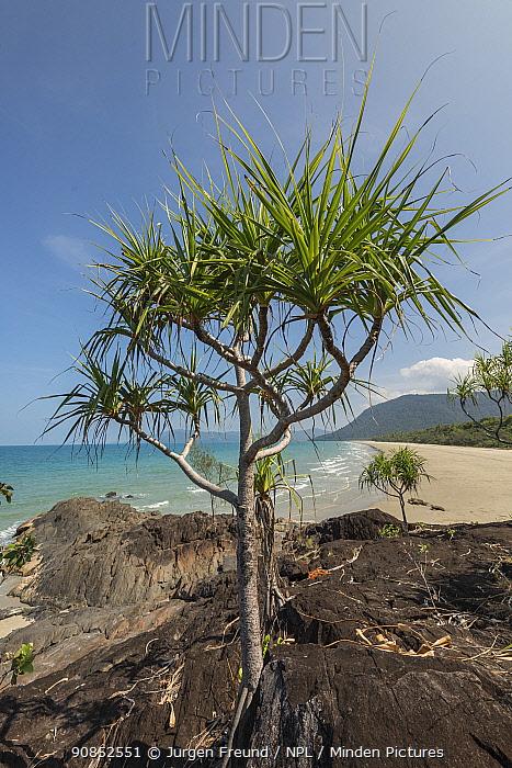 Pandanus palm (Pandanus sp) tree growing amongst rocks on coast. Far North Queensland, Australia. 2017.
