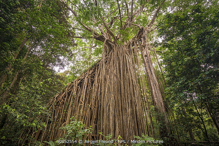 White fig (Ficus virens) tree known as Curtain fig with curtain of aerial roots dropping 15m from trunk of tilting host tree. Atherton Tablelands, Queensland, Australia.