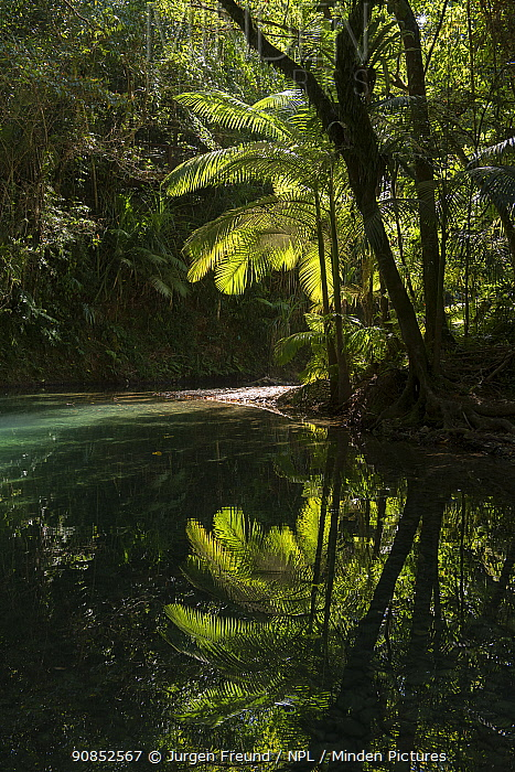 Wait-a-while vine (Calamus muelleri) and rainforest reflected in creek. Hutchinson Creek, Daintree rainforest, Wet Tropics of Queensland, Australia.