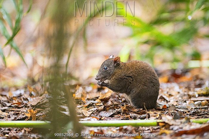 Musky rat-kangaroo (Hypsiprymnodon moschatus) feeding, in leaf litter. Queensland, Australia.