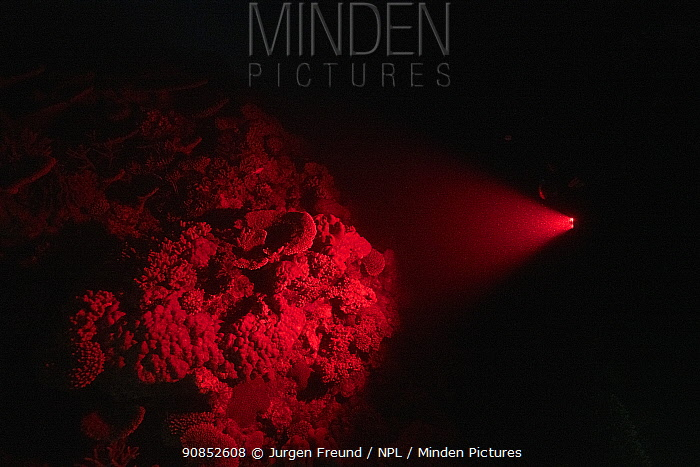 Coral reef illuminated with red light by cameraman whilst waiting for Corals to spawn. Spawn collected by Coral Larval Restoration / Coral IVF Project to rear Coral and replenish degraded areas of reef. Great Barrier Reef, Queensland, Australia. November 2019.