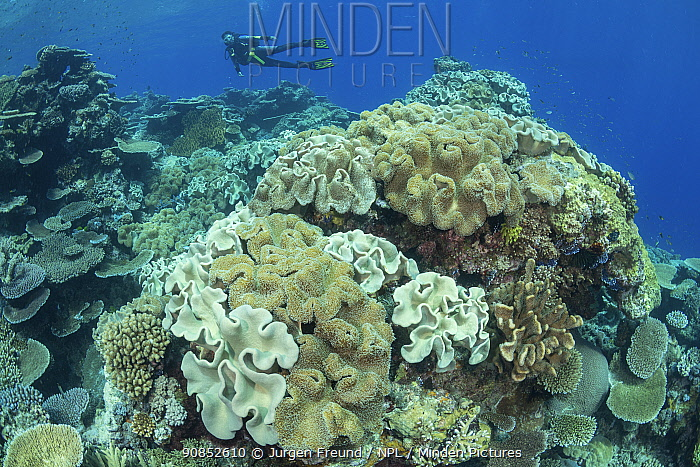 Coral reef with diver in background. Queensland, Australia. 2019. Model released.