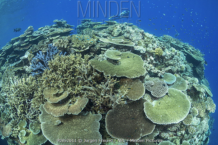 Coral reef with fish and diver from Coral IVF, Coral Larval Restoration Project in background. Project led by Southern Cross University to rear Coral and replenish degraded sections of Great Barrier Reef. Queensland, Australia. 2019.