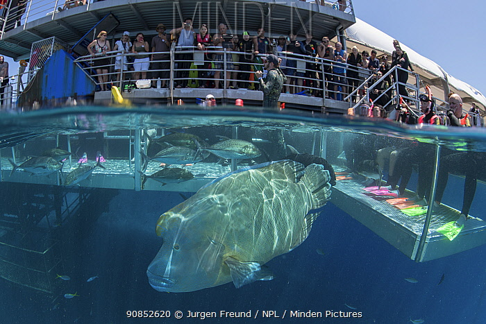 Humphead wrasse (Cheilinus undulatus) feeding alongside other fish, tourists watching and taking photographs from Reef Magic pontoon. Great Barrier Reef, Queensland, Australia. 2019.