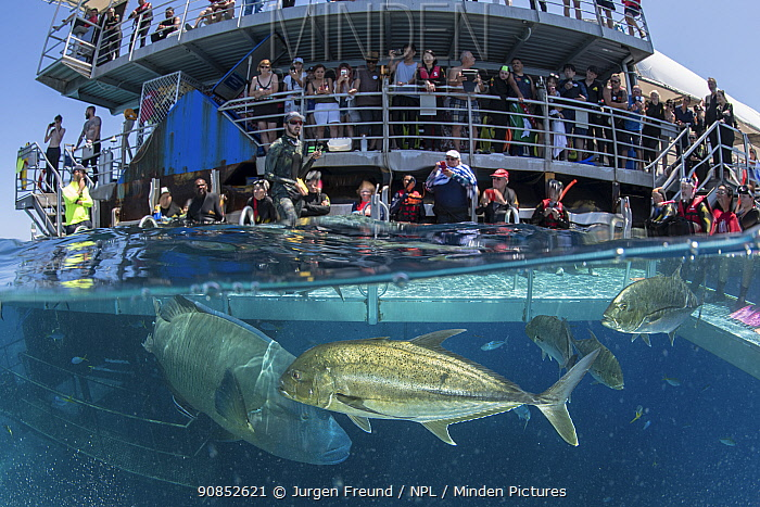 Fish including Humphead wrasse (Cheilinus undulatus) feeding, tourists watching from Reef Magic pontoon. Great Barrier Reef, Queensland, Australia. 2019.