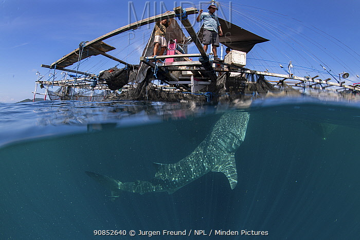 Whale shark (Rhincodon typus) feeding below bagan fishing boat, from a non-migratory population fed by local fishermen. Cenderawasih Bay, Papua, Indonesia. 2020.