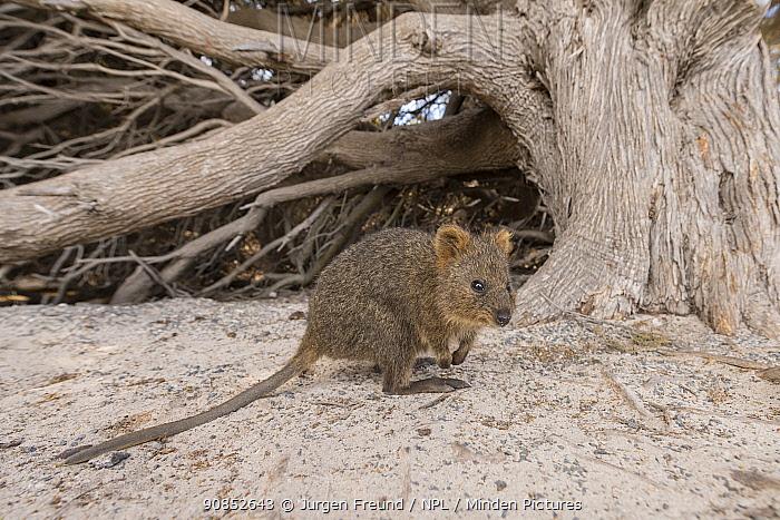 Quokka (Setonix brachyurus). Rottnest Island, Western Australia.