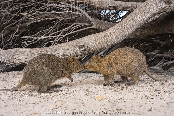 Quokka (Setonix brachyurus), two nose to nose. Rottnest Island, Western Australia.