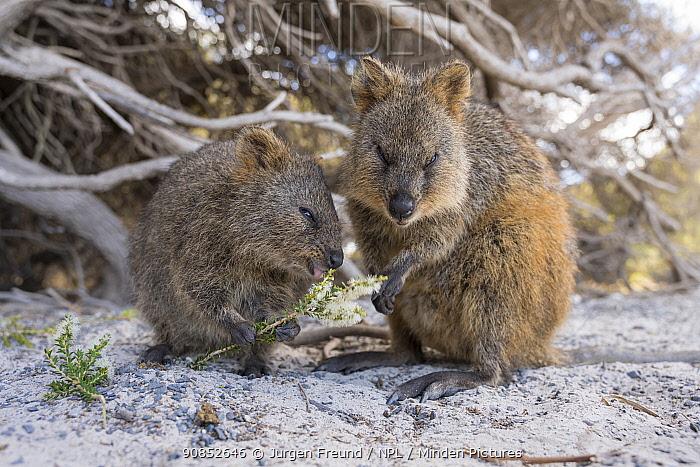 Quokka (Setonix brachyurus), two feeding. Rottnest Island, Western Australia.