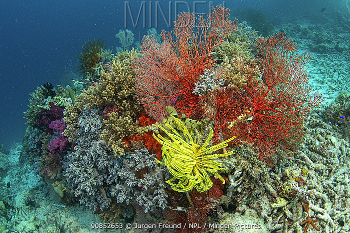 Soft coral (Alcyonacea) growing on artificial reef made from wire, in damaged area of coral reef. Misool Eco Resort, Raja Ampat Islands, Indonesia. 2018.