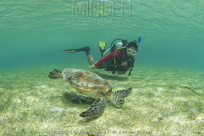 Green sea turtle (Chelonia mydas) feeding on Seagrass bed in shallow waters, diver watching in background. Misool Eco Resort, Raja Ampat Islands, Indonesia. 2018. Model released.
