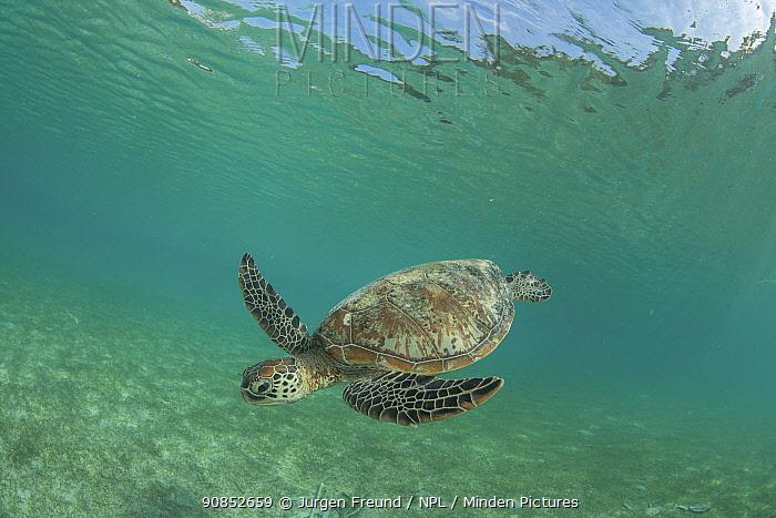 Green sea turtle (Chelonia mydas) feeding on Seagrass bed. Misool Eco Resort, Raja Ampat Islands, Indonesia.