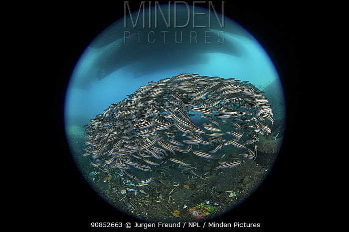 Striped catfish (Plotosus lineatus) schooling between boats docked at pier and litter on sea floor, taken with fisheye lens. Ambon Island, Maluku, Indonesia. 2018.