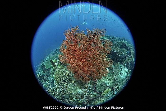 Gorgonian fan coral (Alcyonacea). Taken with fish eye lens. Indonesia.