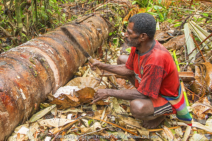 Man harvesting pith from trunk of Palm, most likely Sago palm (Metroxylon sagu), before processing into Sago, a starchy staple. West Papua, Indonesia. 2018.