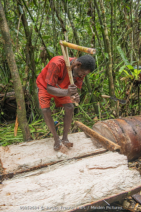 Man harvesting pith from trunk of Palm, most likely Sago palm (Metroxylon sagu), in rainforest. Before processing into Sago, a starchy staple. West Papua, Indonesia. 2018.