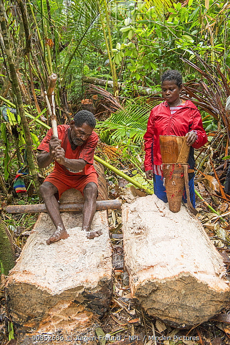 Man extracting pith from trunk of Palm, most likely Sago palm (Metroxylon sagu) during harvest in rainforest. Woman waiting to fill basket before processing into Sago, a starchy staple. West Papua, Indonesia. 2018.