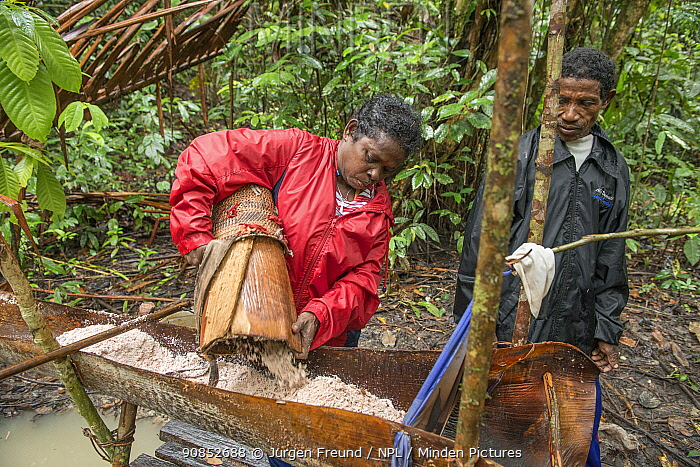 Woman emptying pith into trough, harvested from Palm, most likely Sago palm (Metroxylon sagu). Pith processed into sago, a starchy staple. West Papua, Indonesia. 2018.