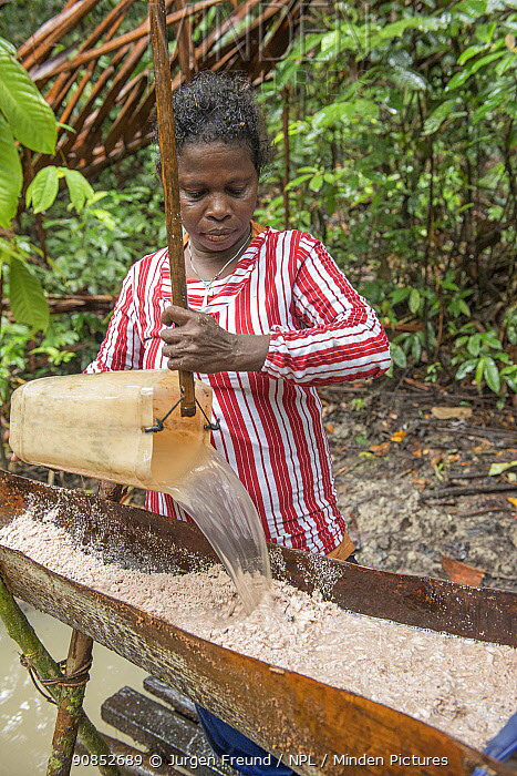 Woman pouring water onto pith harvested from Palm, most likely Sago palm (Metroxylon sagu). Processing into sago, a starchy staple. West Papua, Indonesia. 2018.