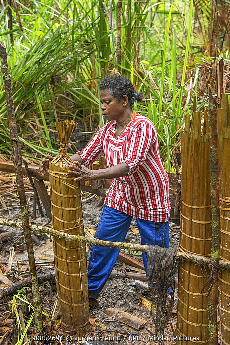 Woman processing pith harvested from Palm, most likely Sago palm (Metroxylon sagu), to make sago, a starchy staple. West Papua, Indonesia. 2018.