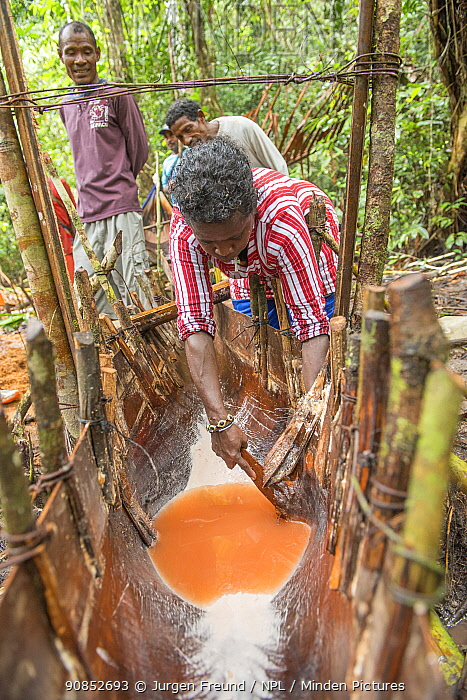 West Papuans during harvest of Palms, most commonly Sago palm (Metroxylon sagu). Processing piths into sago, a starchy staple. West Papua, Indonesia. 2018.