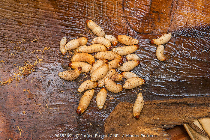 Sago palm weevil (Rhynchophorus sp) grubs found during Sago palm (Metroxylon sagu) harvest. These larvae feed of rotting trunks of palm used as a starchy staple in West Papua, Indonesia. 2018.