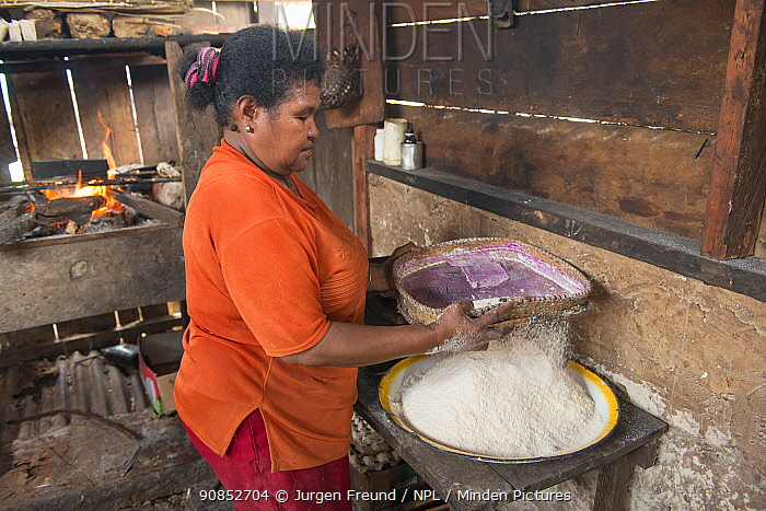 Woman sieving sago flour, a starchy food staple most commonly made from Sago palm (Metroxylon sagu). West Papua, Indonesia. 2018.