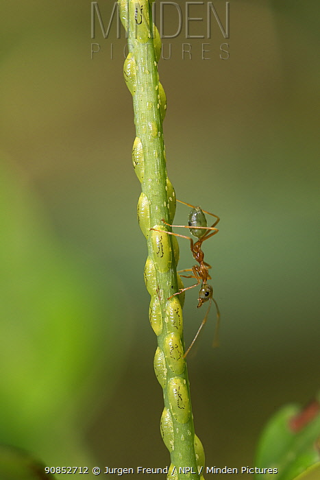 Green tree ant (Oecophylla smaragdina) walking on stem covered with Scale insects (Sternorrhyncha). Far North Queensland, Australia.