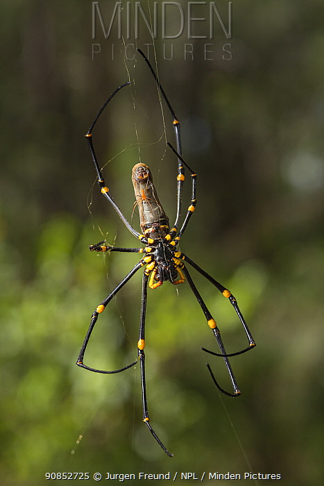 Golden orb weaving spider (Nephila pilipes) pair, male tiny in comparison to female. Far North Queensland, Australia