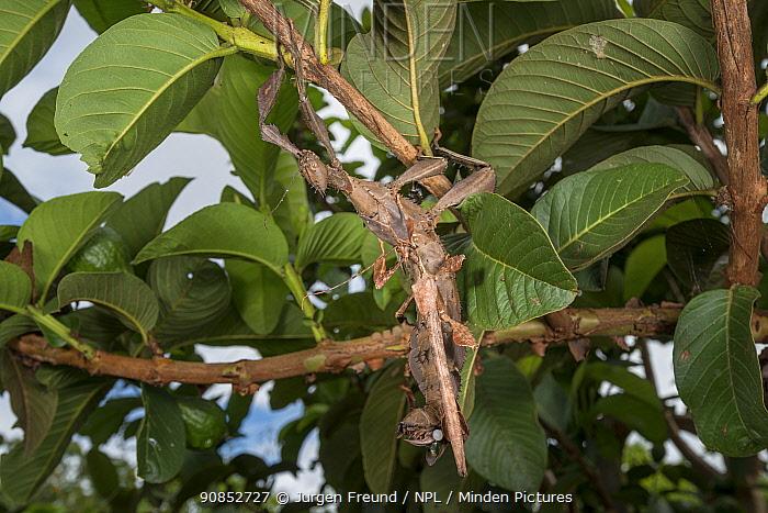 Spiny leaf insect (Extatosoma tiaratum) pair mating. Far North Queensland, Australia.