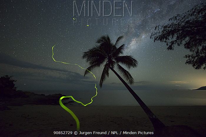 Firefly (Lampyridae) trails on beach at night, Palm tree silhouetted against milky way. Oak Beach, Port Douglas, Far North Queensland, Australia. 2016.