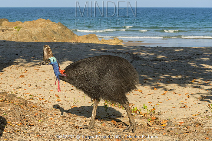 Southern cassowary (Casuarius casuarius johnsonii) walking on beach. Etty Bay, Queensland, Australia. 2015.