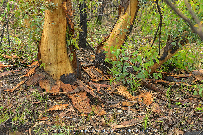 Eucalypt (Eucalypteae) trees damaged by bush fire, epicormic growth from roots and trunks. Blue Mountains, New South Wales, Australia. February 2020.