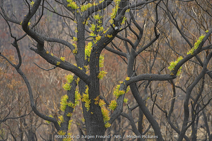 Eucalypt (Eucalypteae) forest damaged by bush fire, epicormic growth on branches. Blue Mountains, New South Wales, Australia. February 2020.
