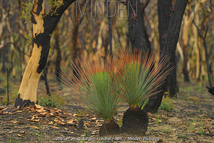 Grass tree (Xanthorrhoea sp) regrowth on burnt stumps in Eucalypt (Eucalypteae) forest damaged by bush fire. Blue Mountains, New South Wales, Australia. February 2020.