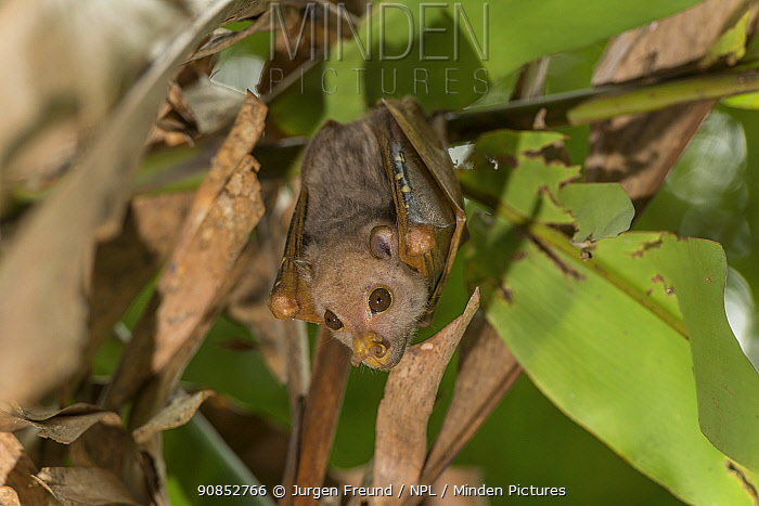 Philippine tube-nosed fruit bat (Nyctimene rabori) hanging from branch. Negros Occidental, Philippines.