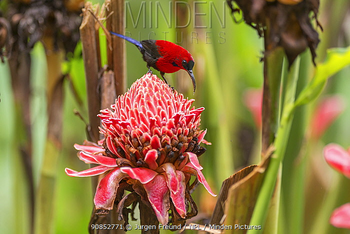 Magnificent sunbird (Aethopyga magnifica) male perched on flower. Bacolod, Negros Occidental, Philippines.